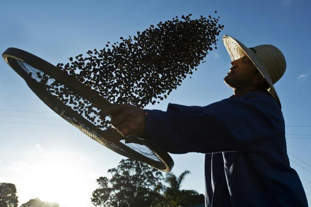 Un agriculteur travaille son café bio, le 6 août 2015 á  la