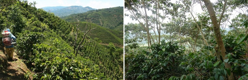 Coffee grown under full-sun conditions (left), versus coffee grown under partial shade conditions (right) | Photo credit: Tico Times (left)